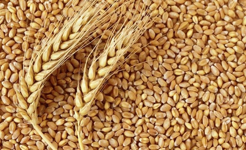 واردات گندم یا افزایش نرخ تضمینی؟ ، کاهش 20 درصدی سطح زیر کشت گندم در راه است